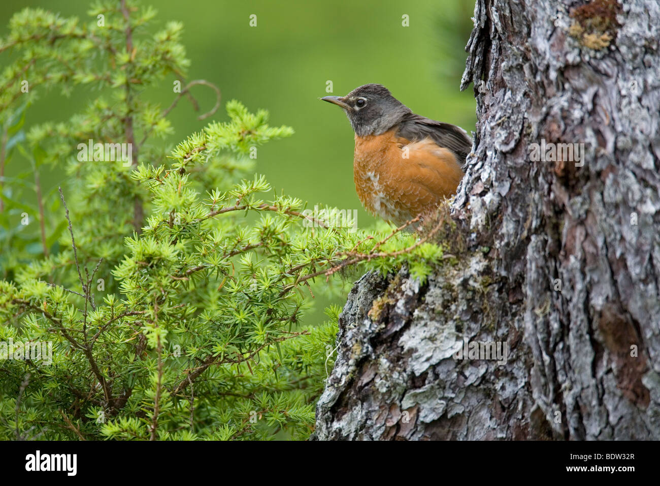 Wanderdrossel, American Robin (Turdus migratorius) - Stock Image