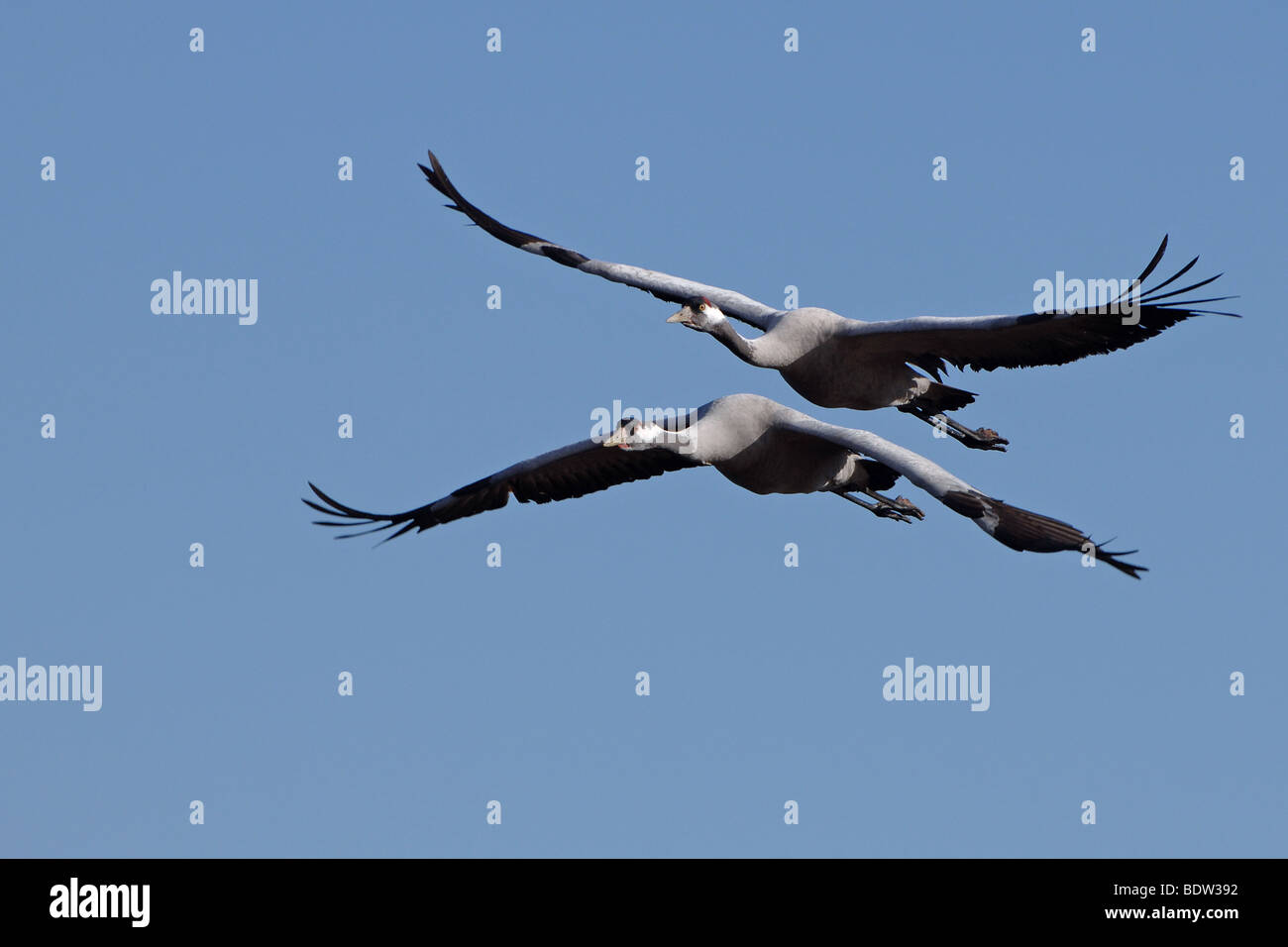 Fliegende Kraniche, flying cranes Stock Photo