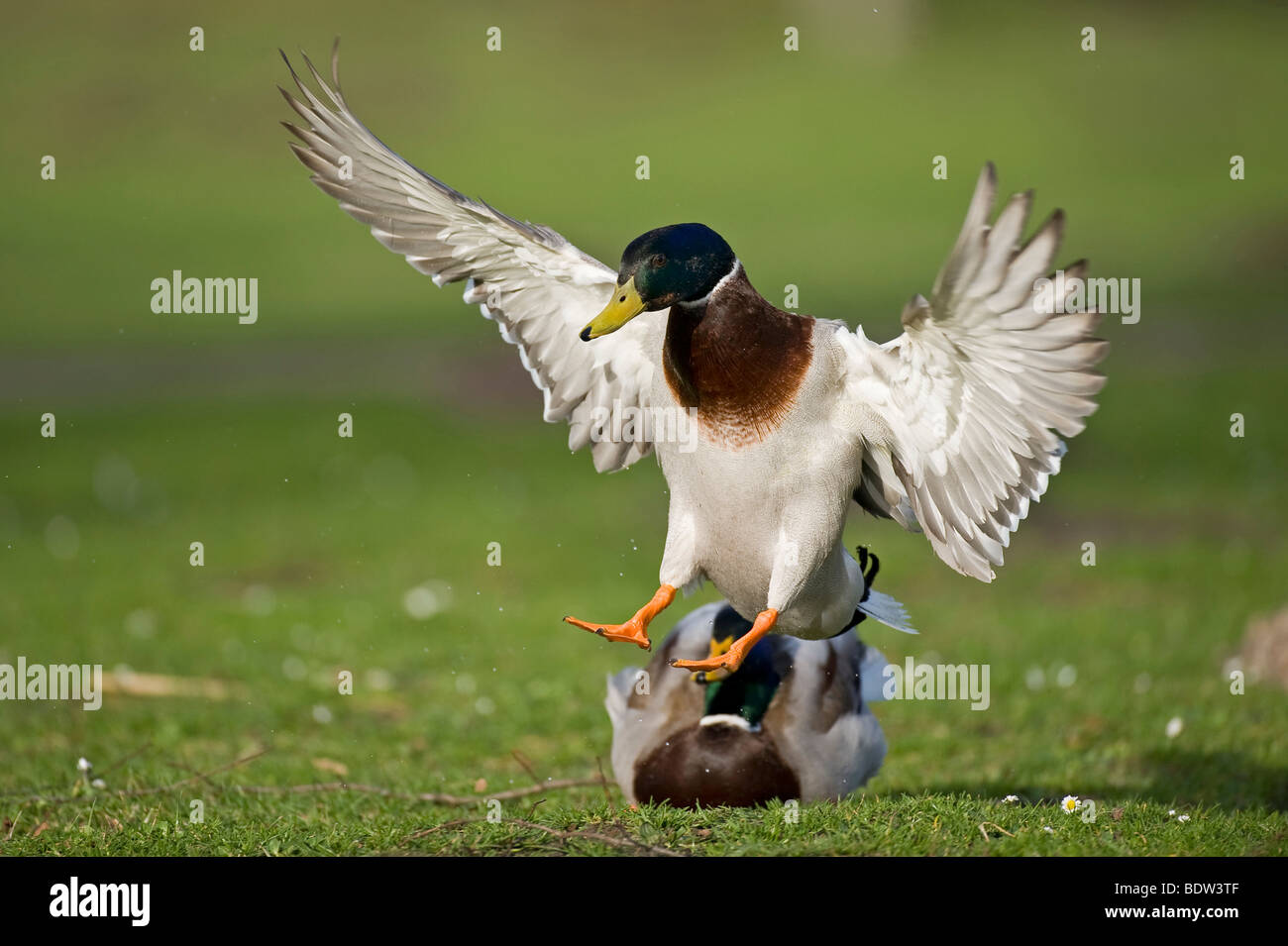 A duck in landing approach - Stock Image
