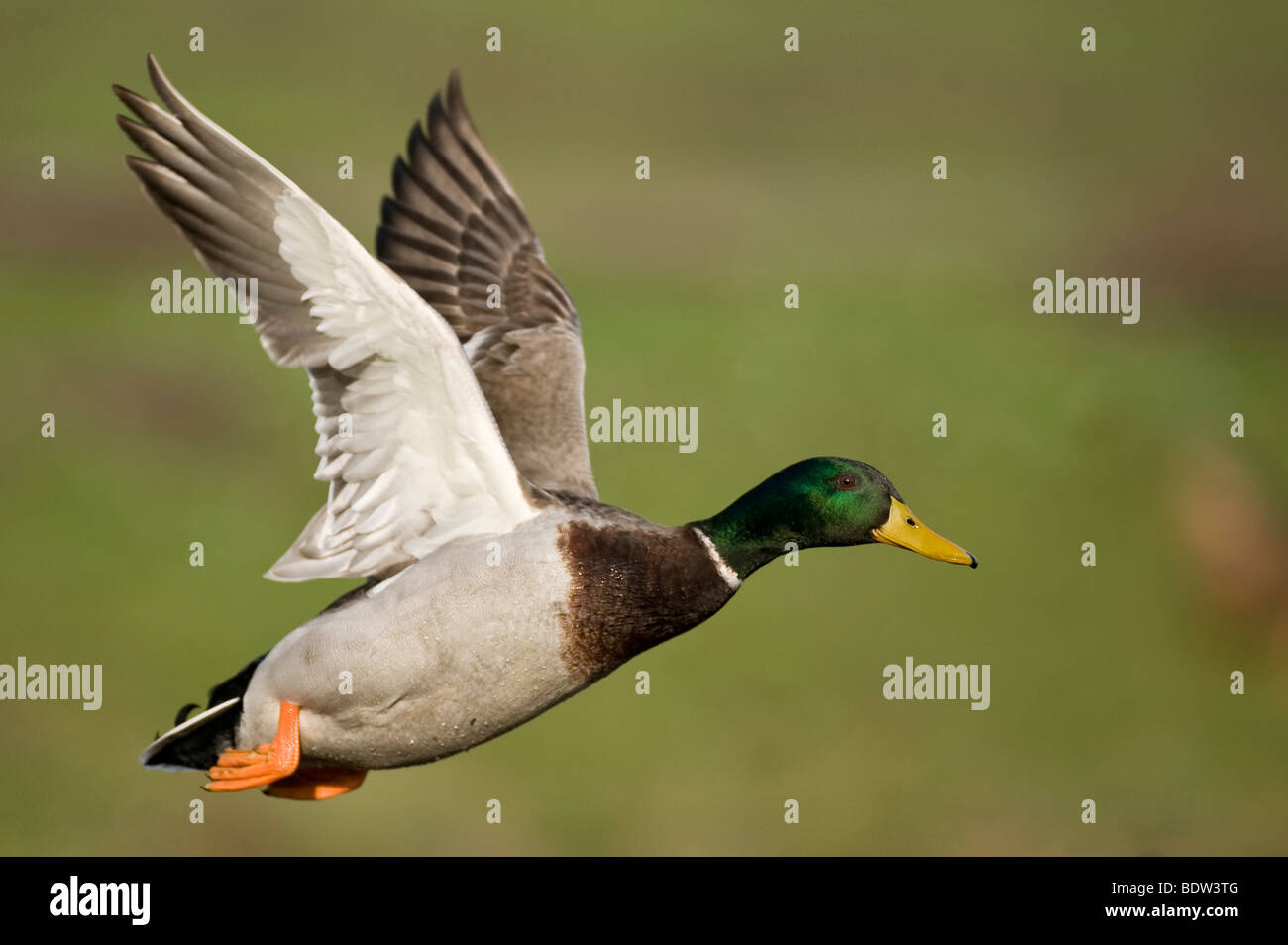 A flying duck - Stock Image