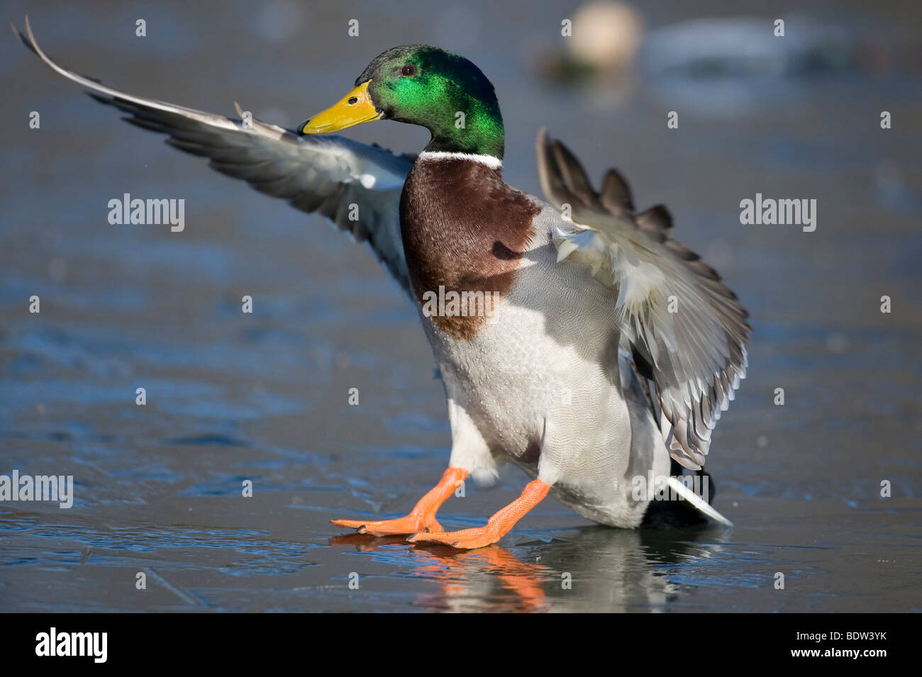 A duck beating its wings - Stock Image