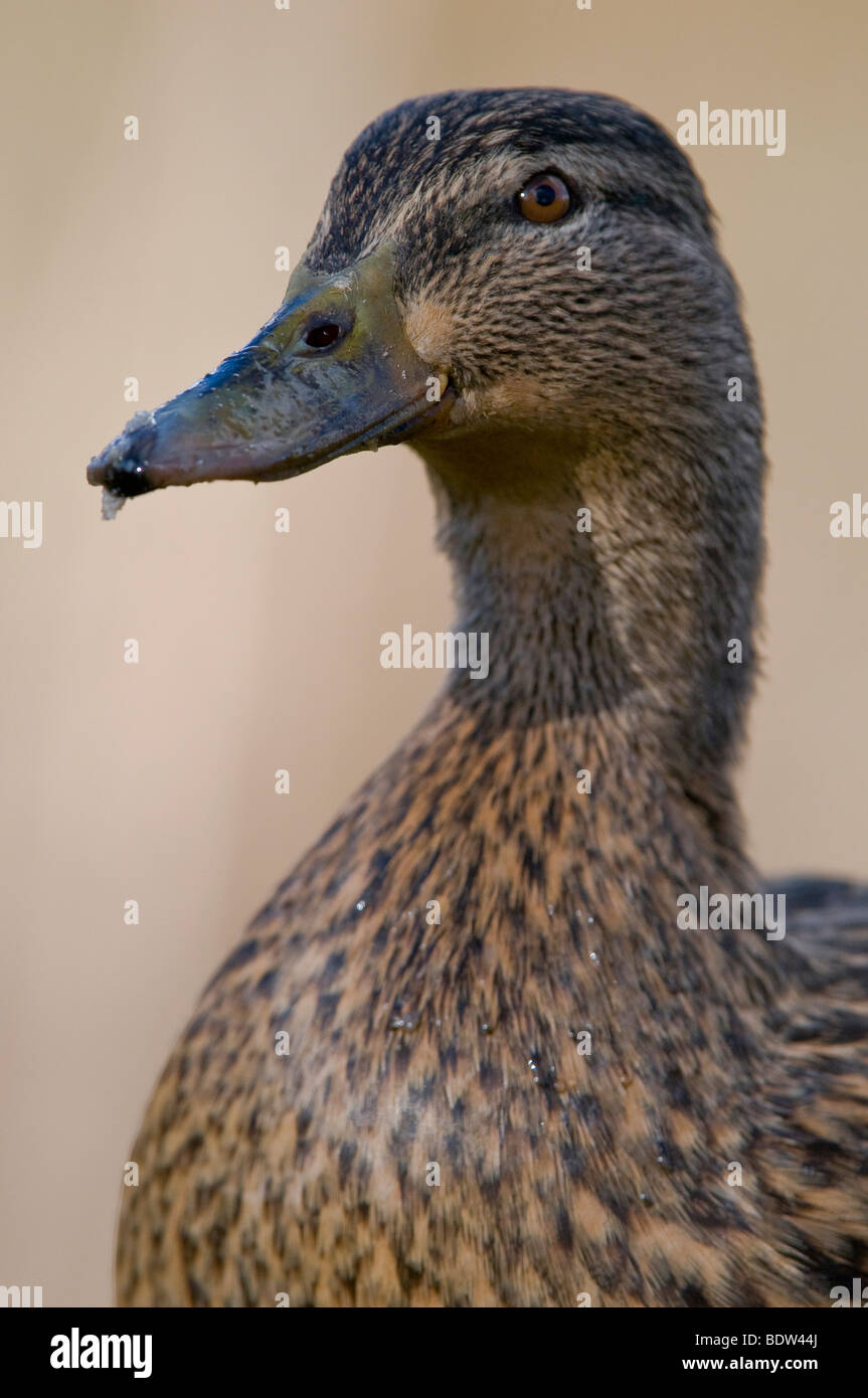 Portrait of a dabbling duck - Stock Image