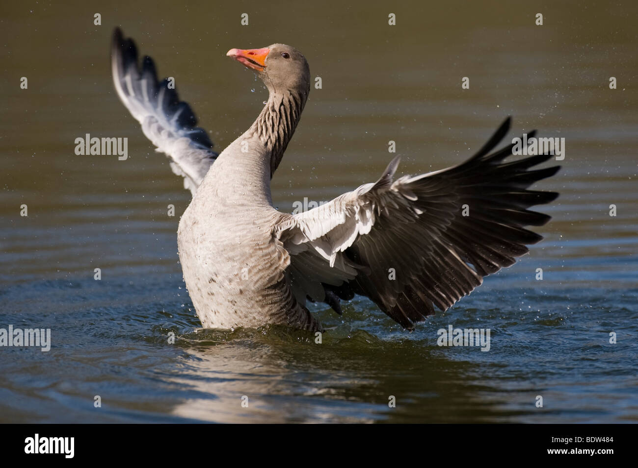 A greylag goose courting a potential partner - Stock Image