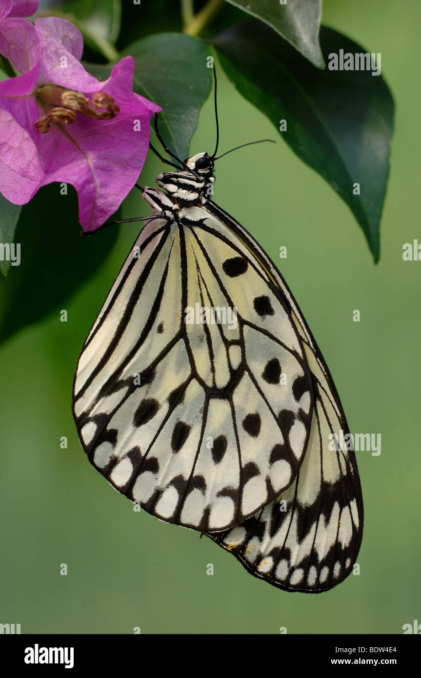 Idea leuconoe, Paper Kite, Rice Paper butterfly, sitting on a flower - Stock Image