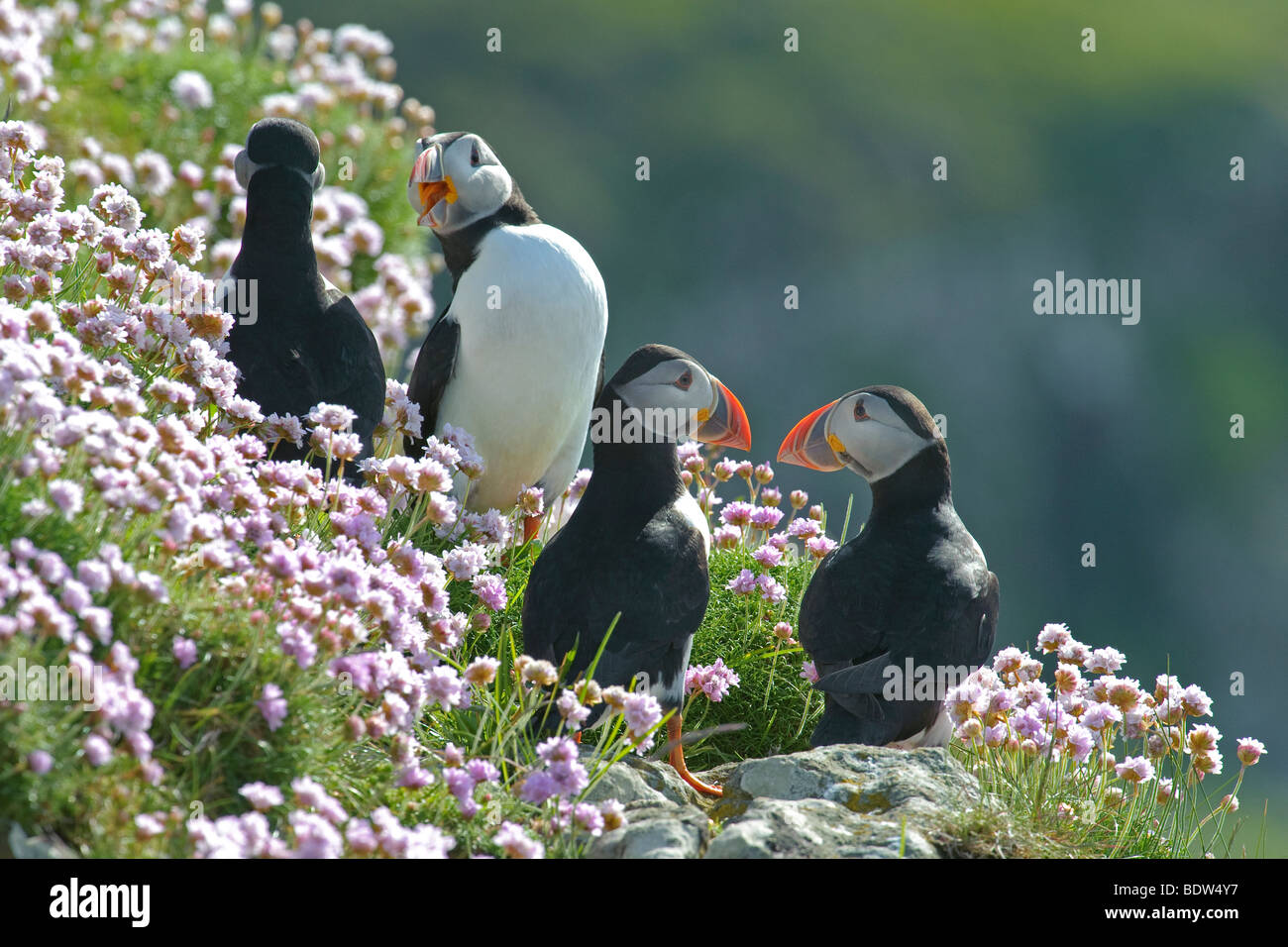 Group of Atlantic puffins Fratercula arctica in thrift Armeria maritima. Scotland. - Stock Image