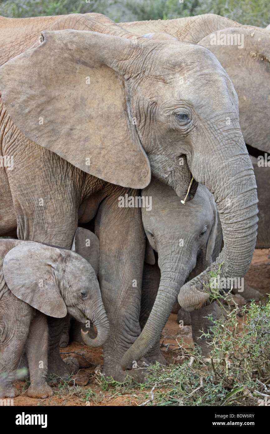 Family Group Of African Elephants Loxodonta africana in Addo National Park, South Africa - Stock Image
