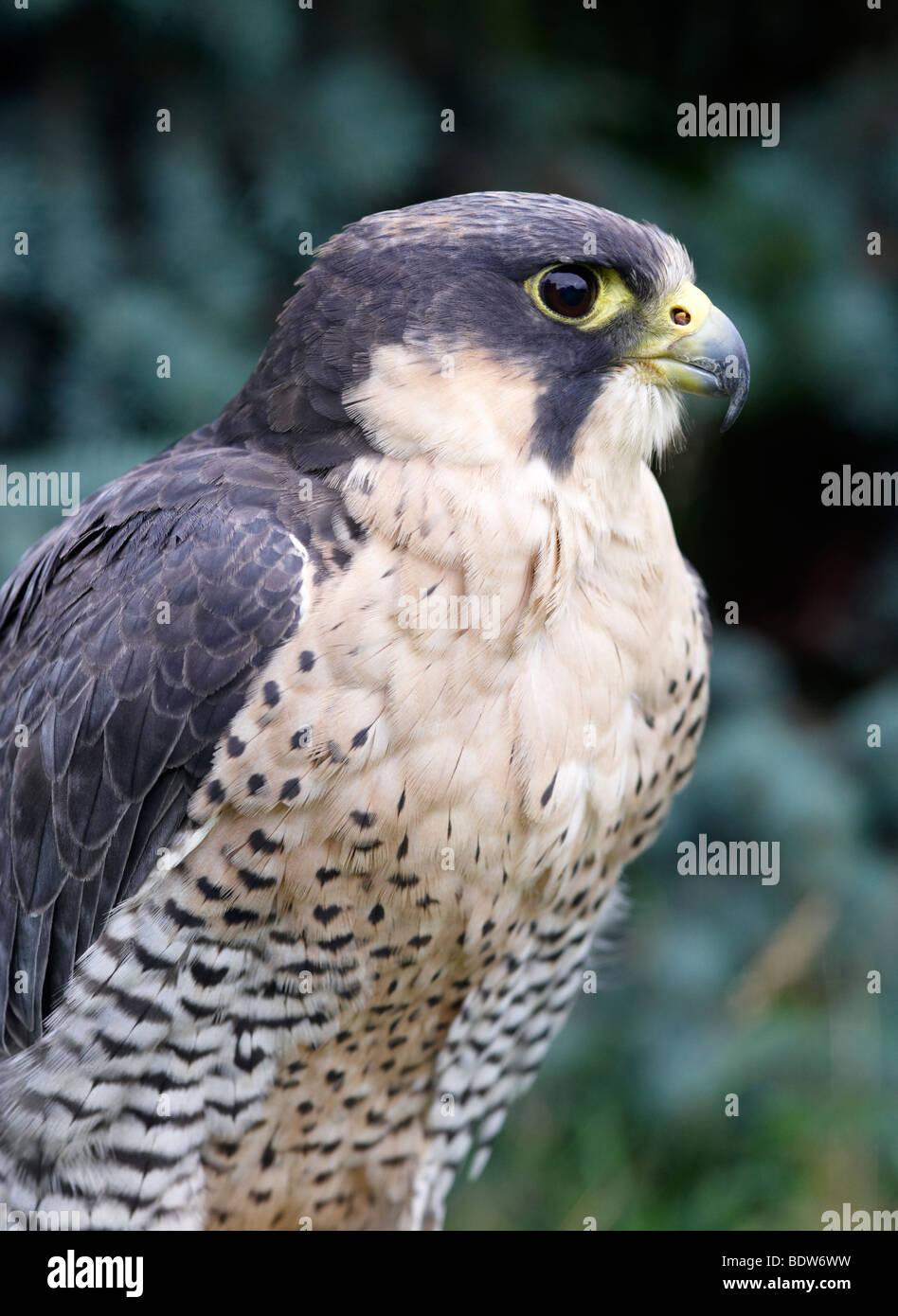 PEREGRINE X LANNER FALCON, FALCO PERIGRINUS X BIARMICUS, BIRD, BIRD OF PREY, FALCONRY - Stock Image