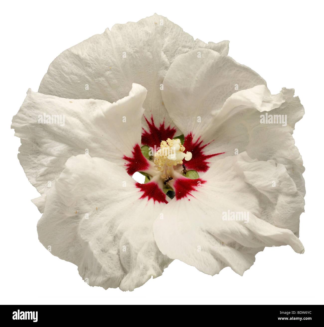 White Hibiscus Stock Photos White Hibiscus Stock Images Alamy