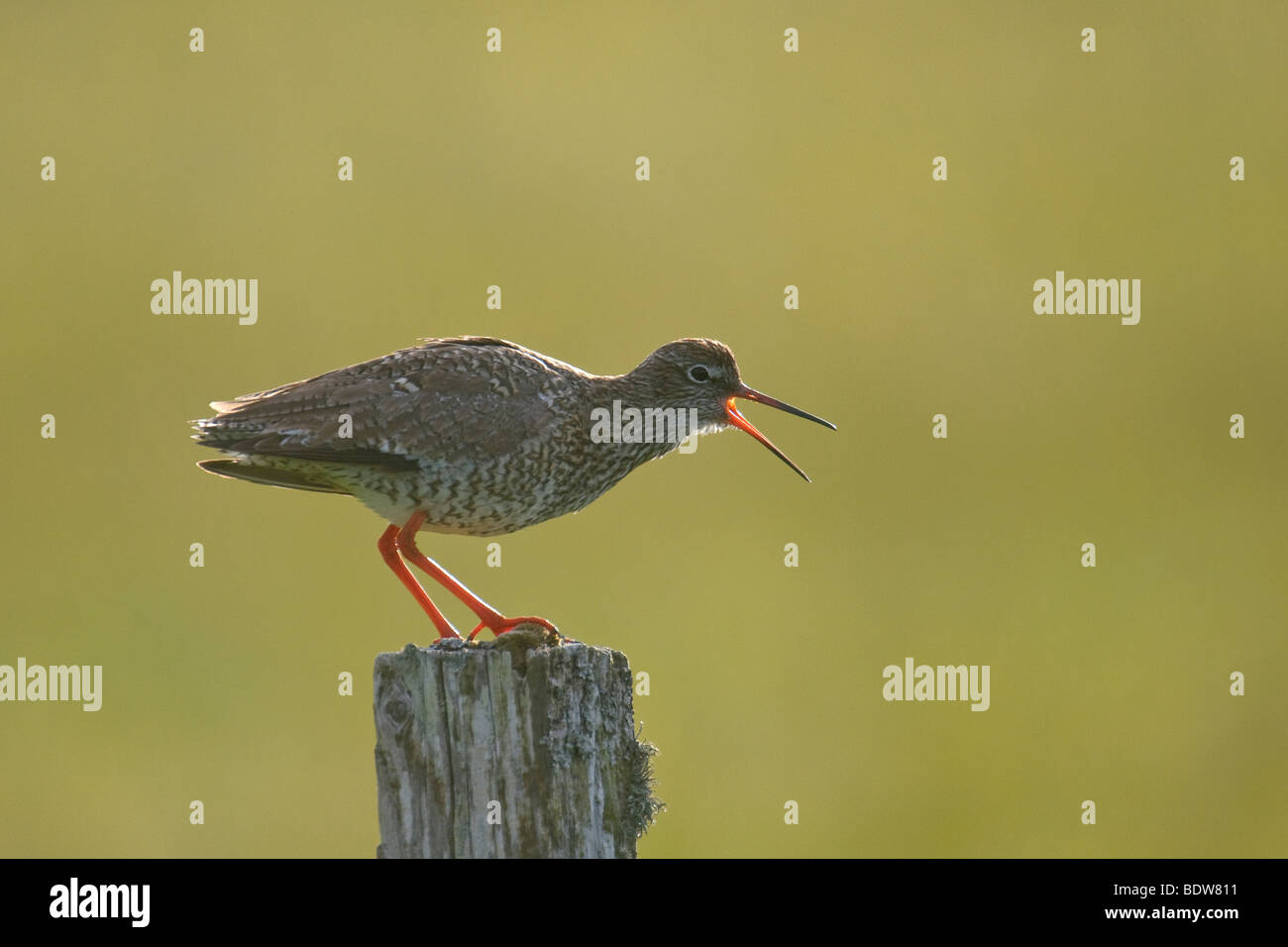 Common redshank Tringa totanus alarm calling on isle of South Uist, Western Isles, Scotland. Stock Photo