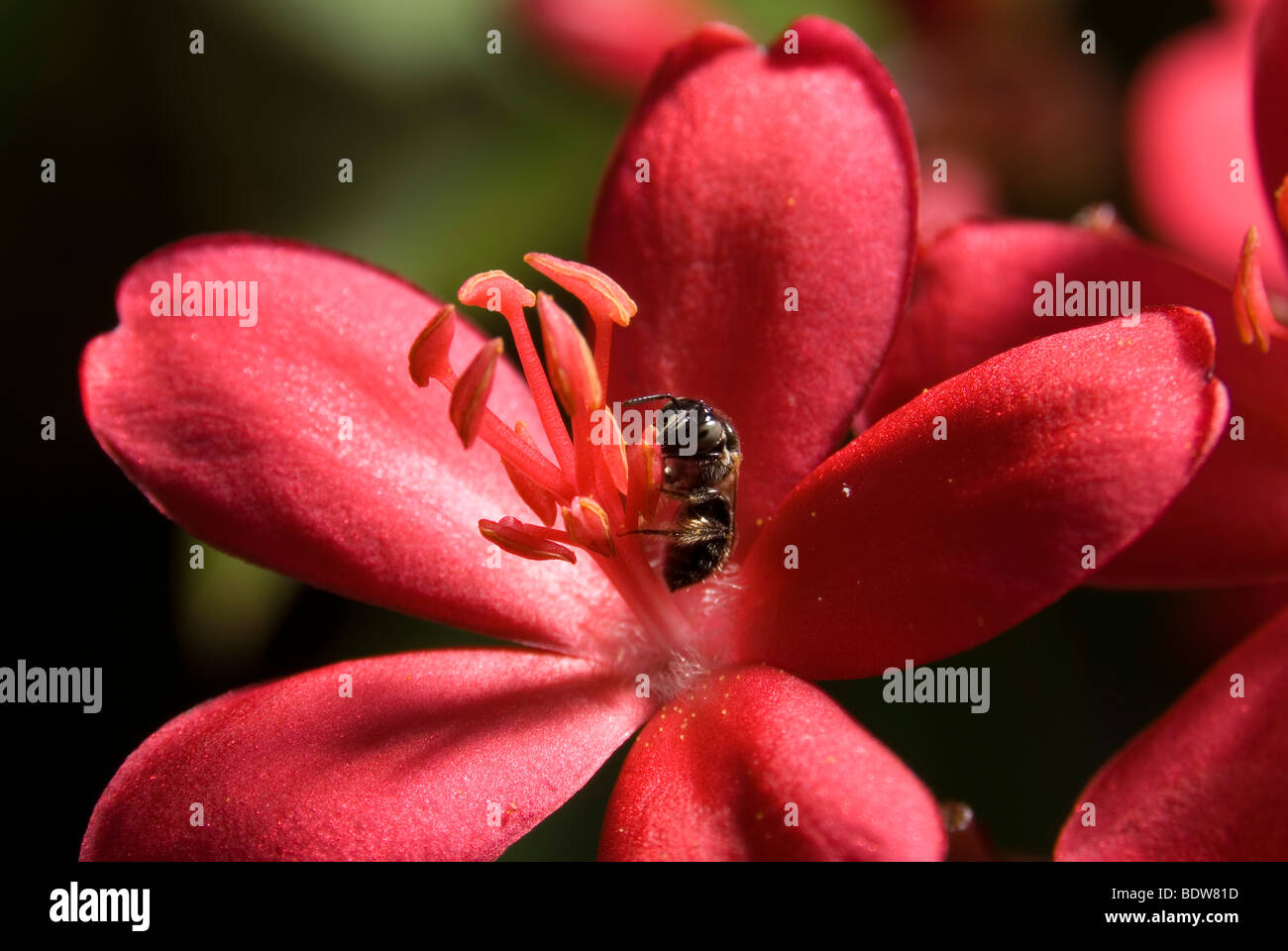 Close up of a sweat bee collecting pollen from flower. - Stock Image