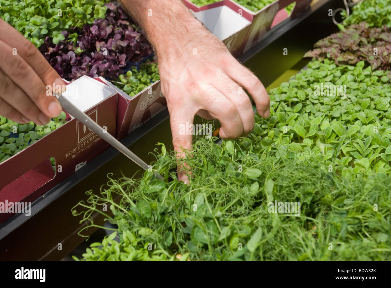 Micro-vegetables farmed in greenhouses are displayed at an exhibit in New York - Stock Image