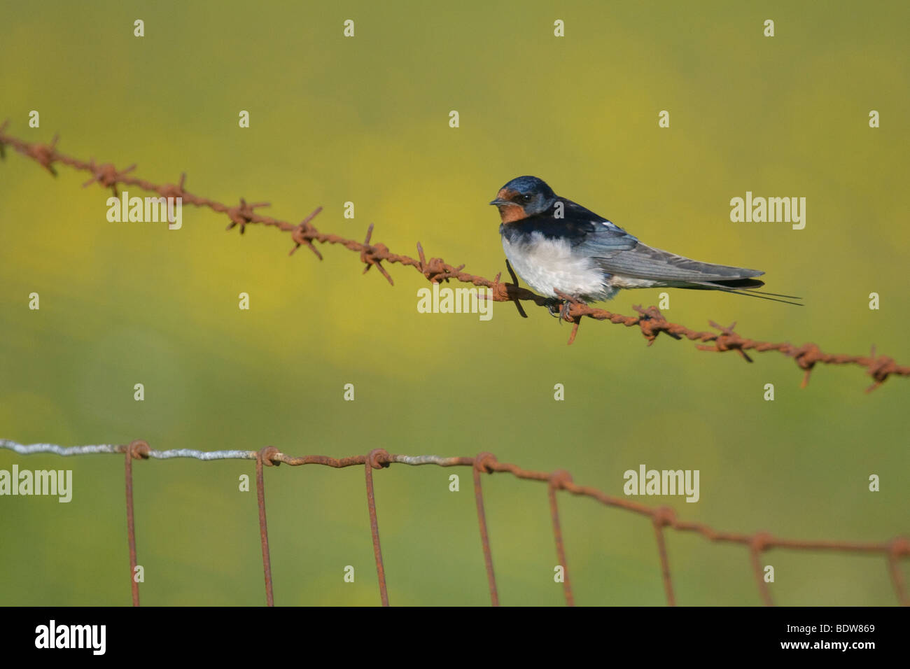 Barn swallow Hirundo rustica perched on rusty barbed wire fence. South Uist, Scotland. - Stock Image