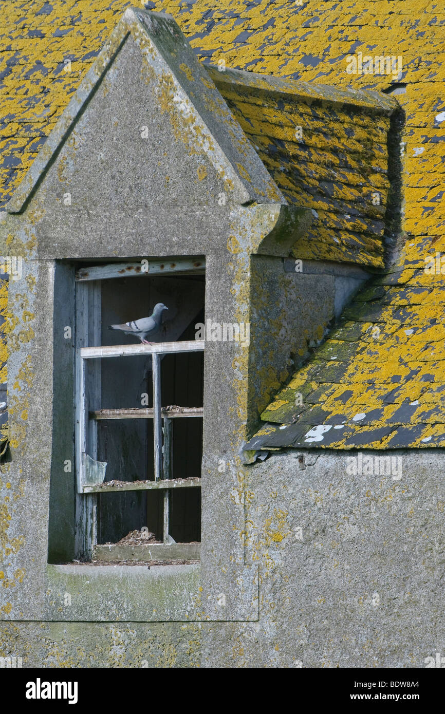 Rock dove Columba livia nesting in ruined house on island of South Uist, Western Isles, Scotland. Stock Photo