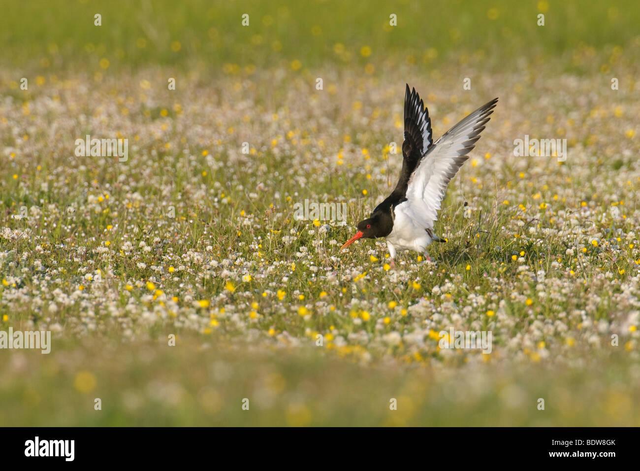 Oystercatcher Haematopus ostralegus in machair. Island of South Uist, Scotland. - Stock Image