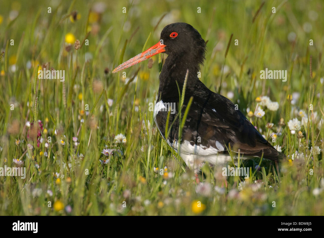 Oystercatcher Haematopus ostralegus in hay meadow. Island of South Uist, Western Isles, Scotland. - Stock Image