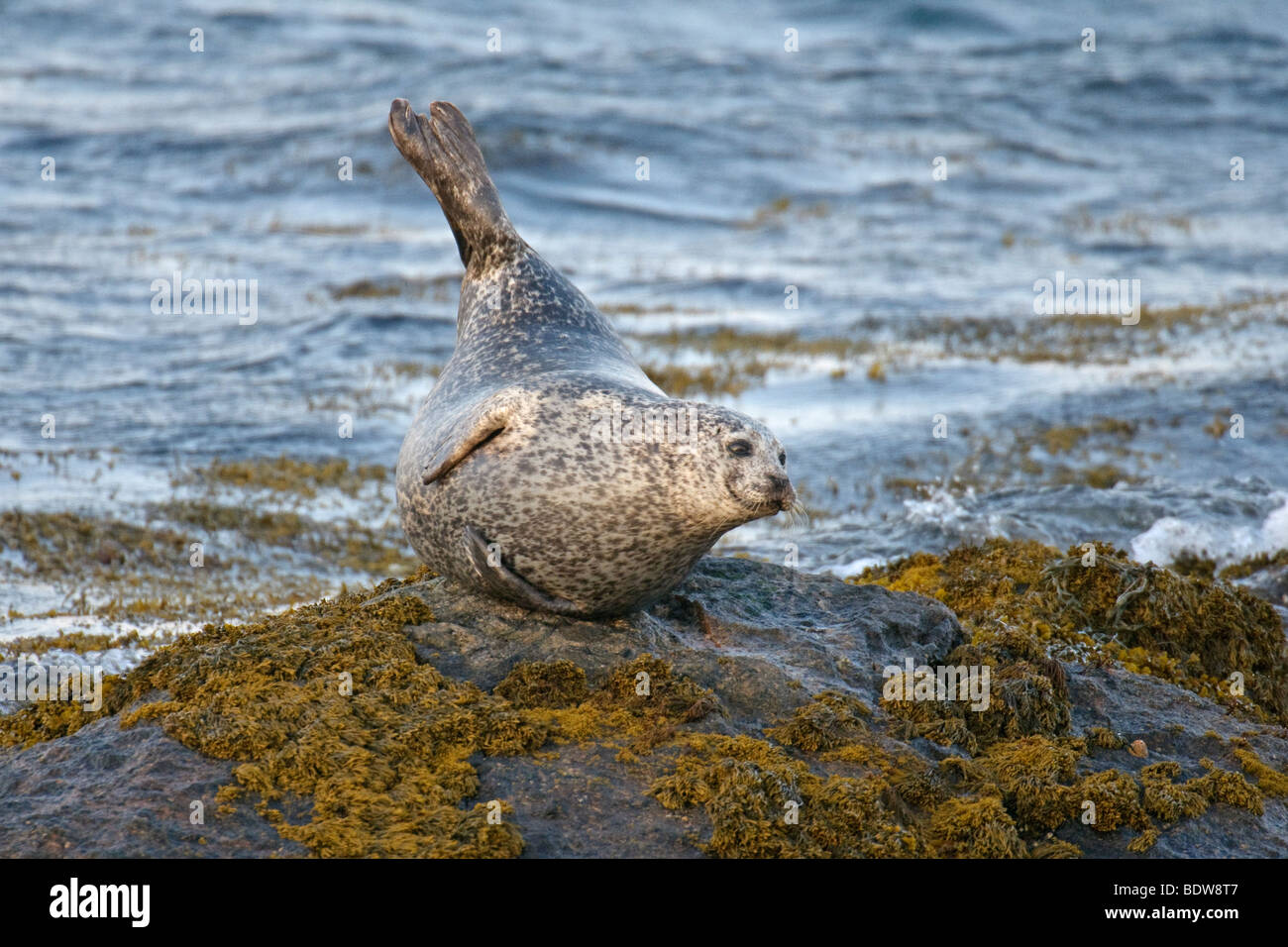 Common or harbour seal Phoca vitulina hauled out on rocky islet. South Uist, Scotland. - Stock Image