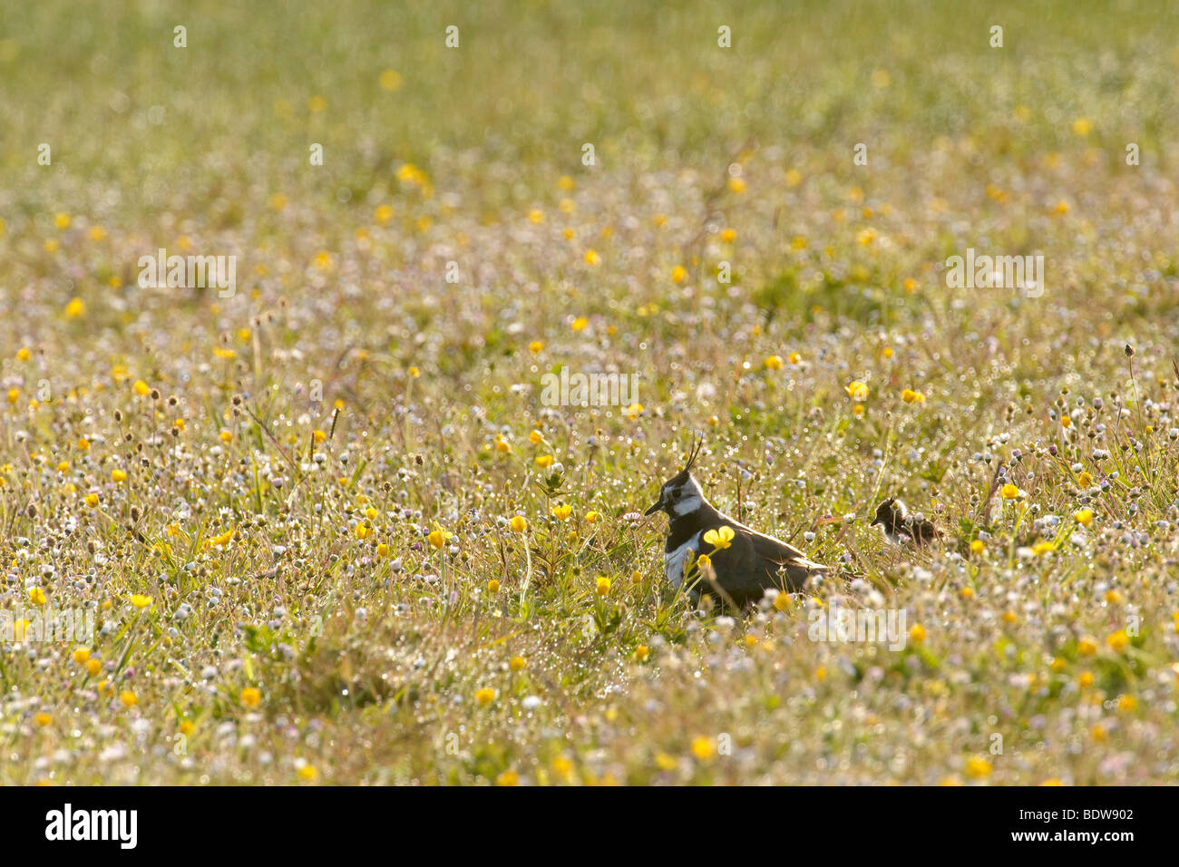 Common lapwing Vanellus vanellus adult female and chick in machair. Isle of South Uist, Scotland. - Stock Image