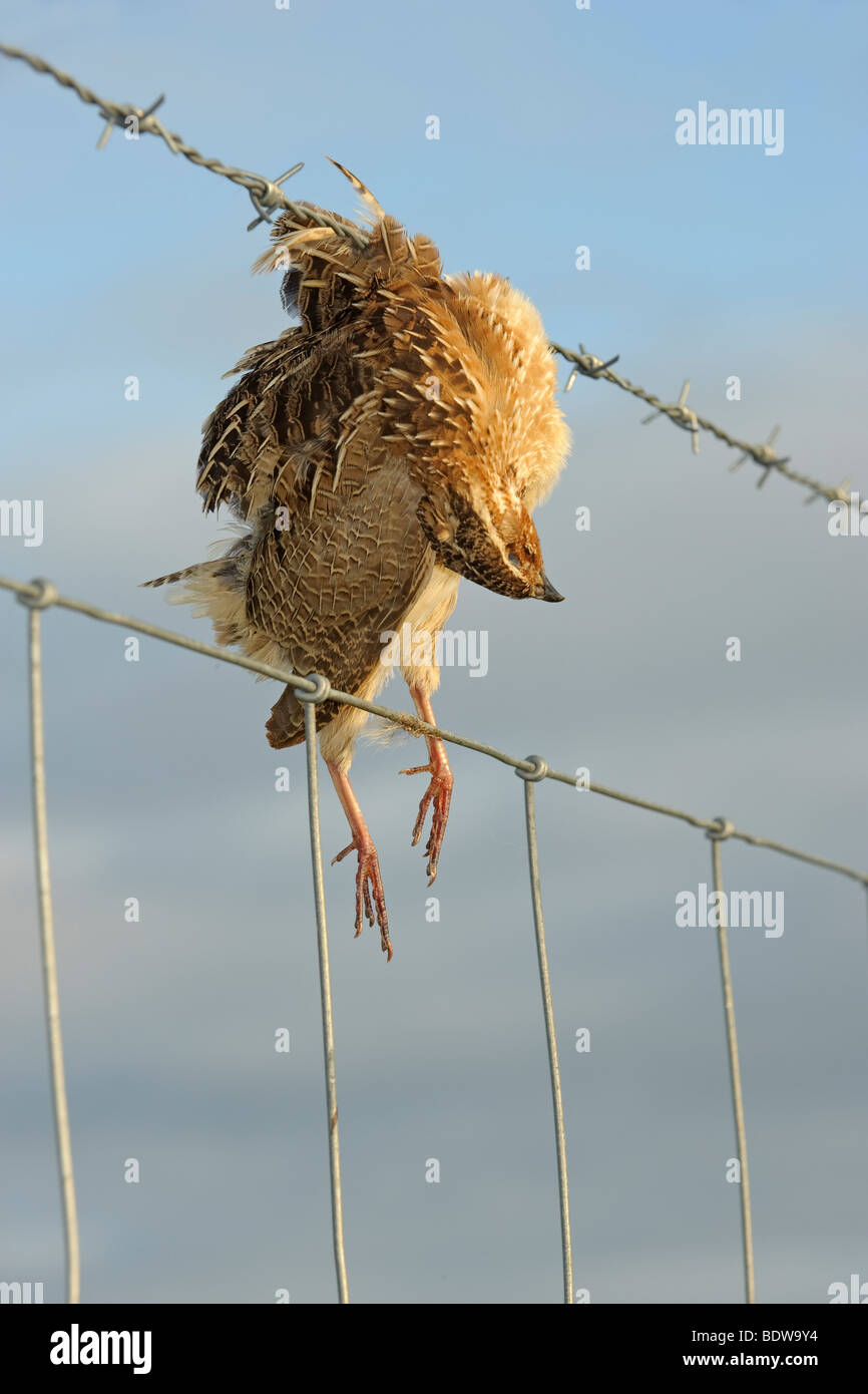 Quail Coturnix coturnix killed in collision with barbed wire fence. Island of South Uist, Western Isles, Scotland. - Stock Image