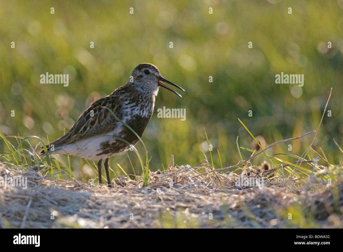 Dunlin Calidris alpina summer adult singing. Island of North Uist, Western Isles, Scotland. - Stock Image
