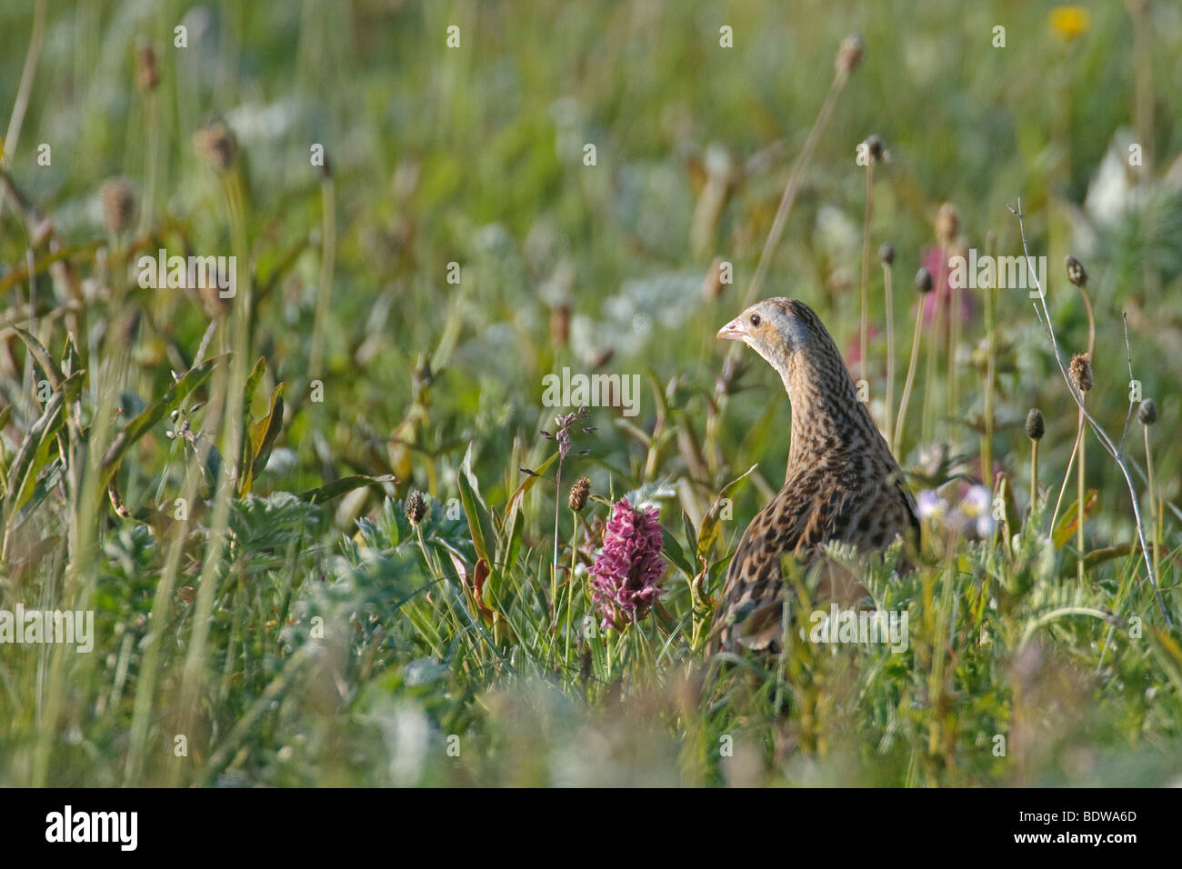 Corncrake Crex crex adult male in hay meadow. Island of North Uist, Western Isles, Scotland. - Stock Image