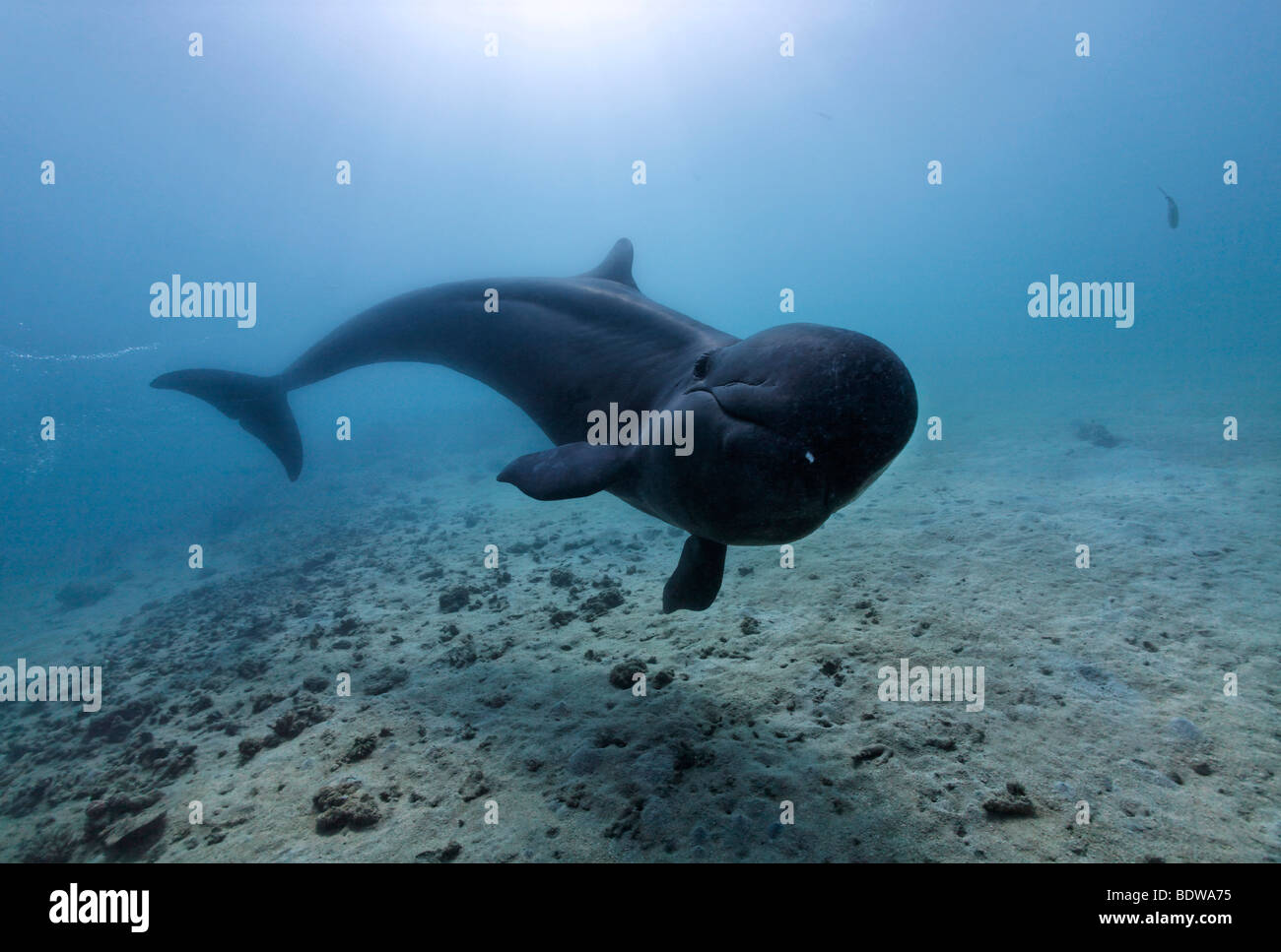 False Killer Whale (Pseudorca crassidens), swimming above sandy sea bed, Subic Bay, Luzon, Philippines, South China - Stock Image