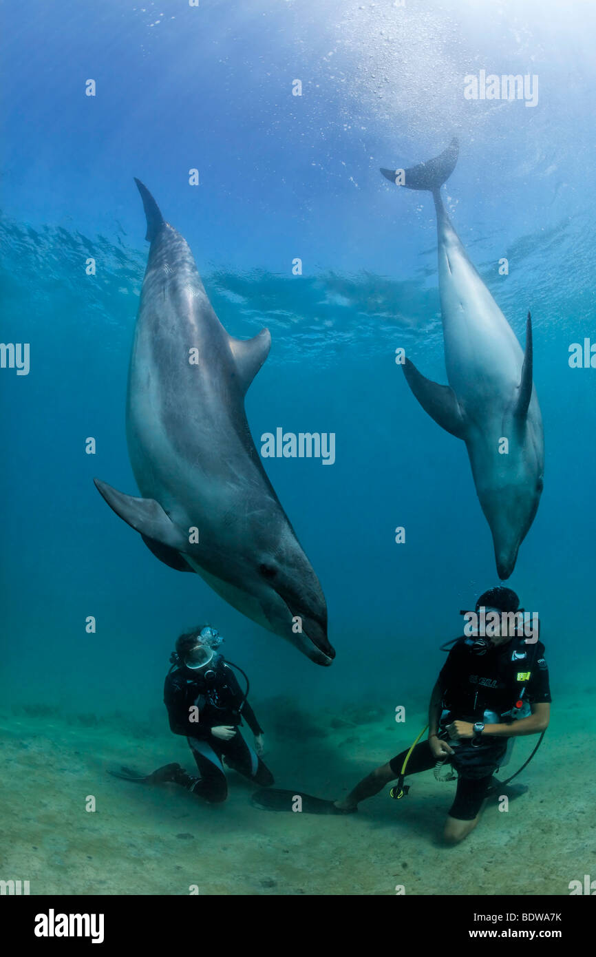 Two scuba divers facing Bottlenose Dolphins (Tursiops truncatus), Subic Bay, Luzon, Philippines, South China Sea, - Stock Image