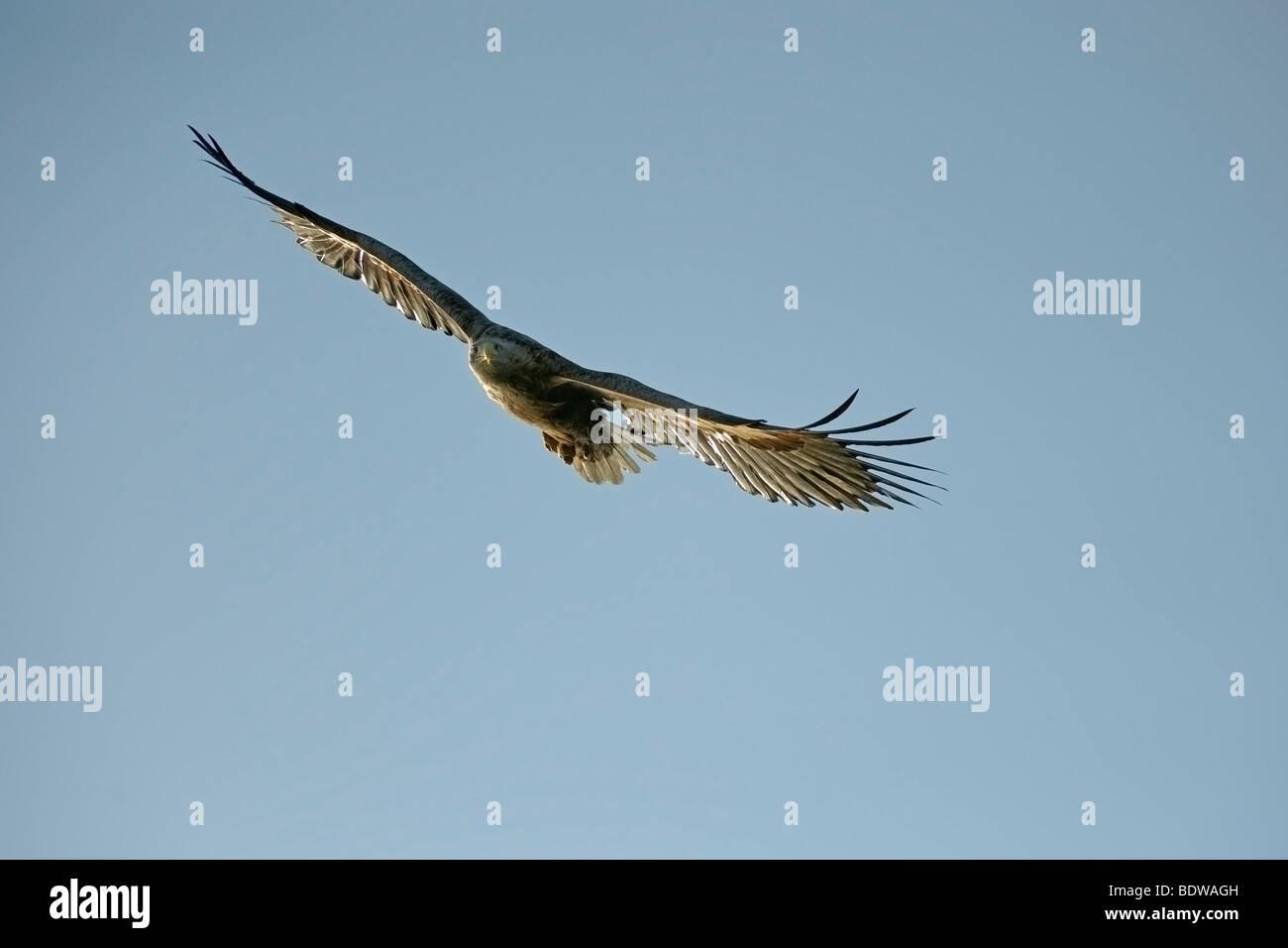 White-tailed sea eagle Haliaeetus albicilla adult in flight. Scotland. Stock Photo