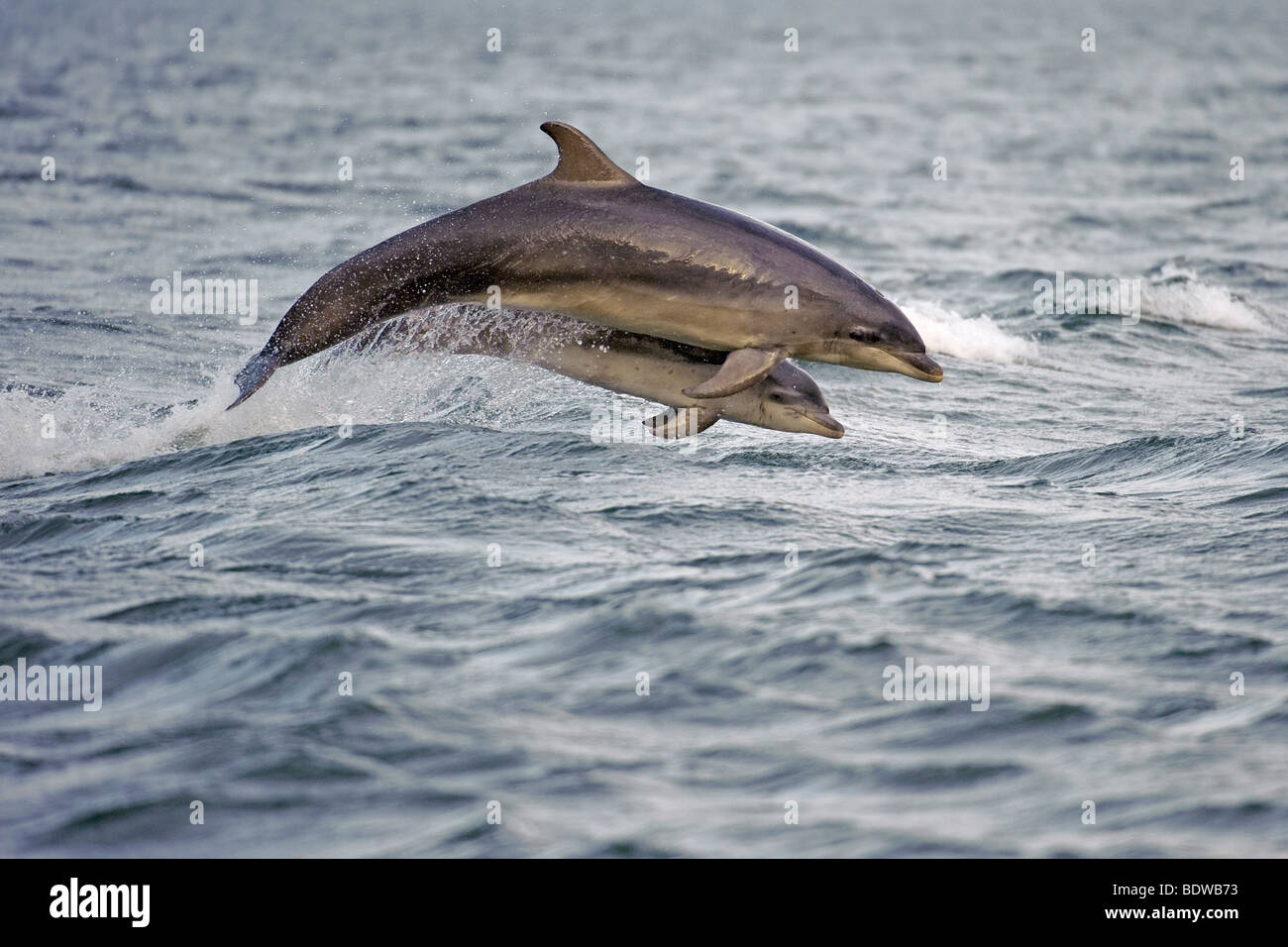Bottlenose dolphin Tursiops truncatus mother and calf breaching. Moray Firth, Scotland. - Stock Image