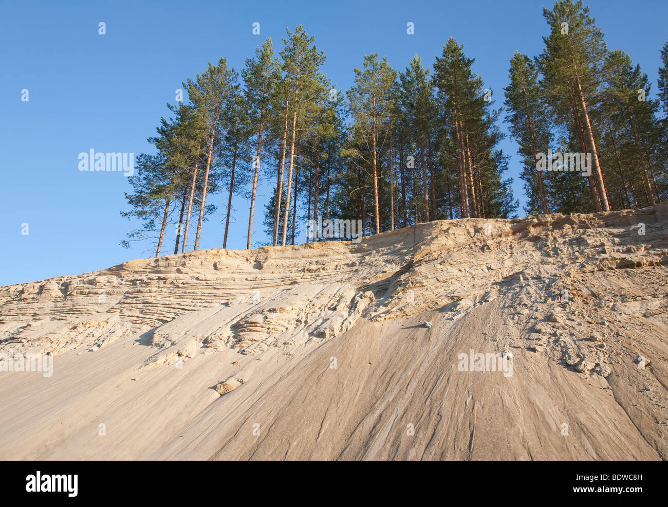 Pine ( pinus sylvestris ) trees growing on top of a sandy ridge , Finland - Stock Image
