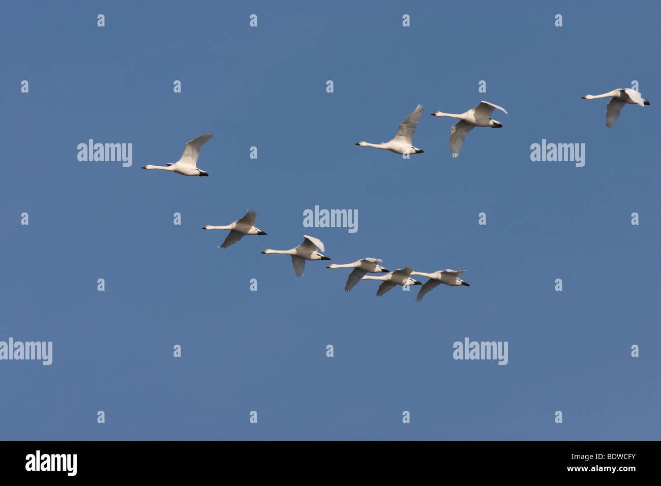 Flock of Tundra Swans (Cygnus bewickii), flying, Naturschutzgebiet Wuemmewiesen nature reserve, Bremen, Germany, Stock Photo