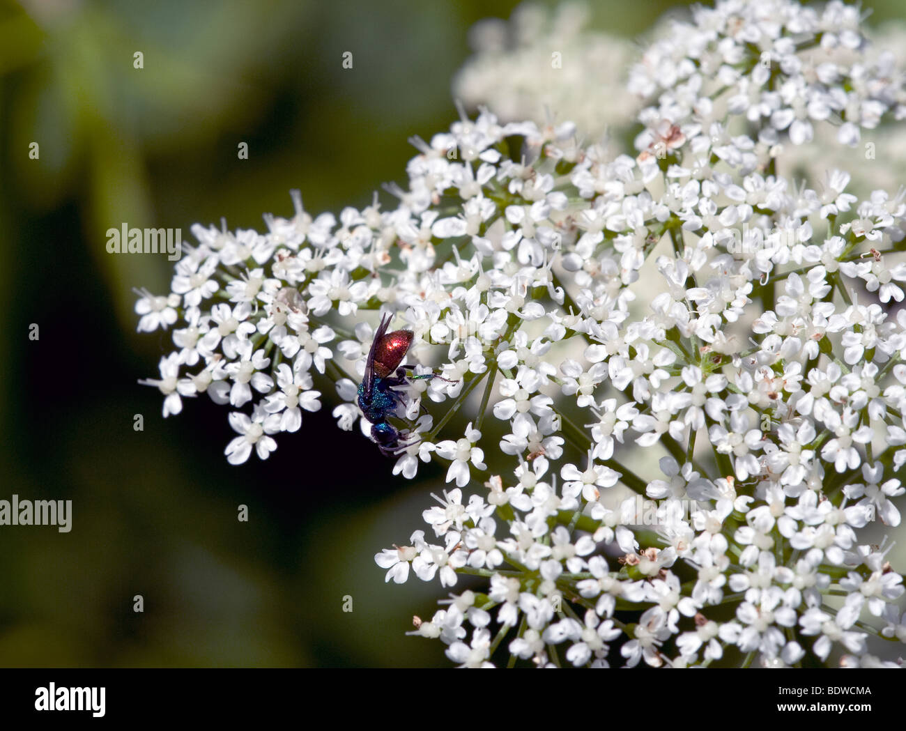 Chrysididae Stock Photo