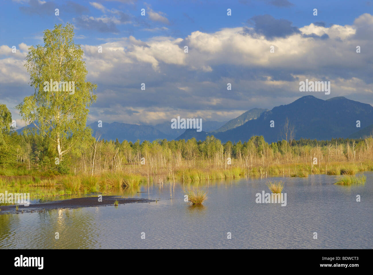 Moor pond with birches (Betula pubenscens) and mountains, foothills of the Alps, Grundbeckenmoor area, Nicklheim, Stock Photo