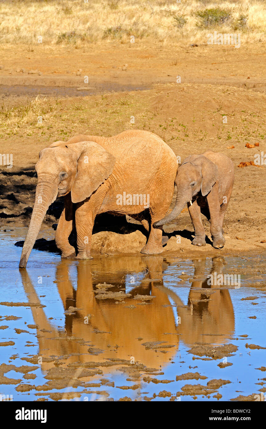 African Elephant cow (Loxodonta africana) with a young calf at a waterhole, Madikwe Game Reserve, South Africa, Stock Photo