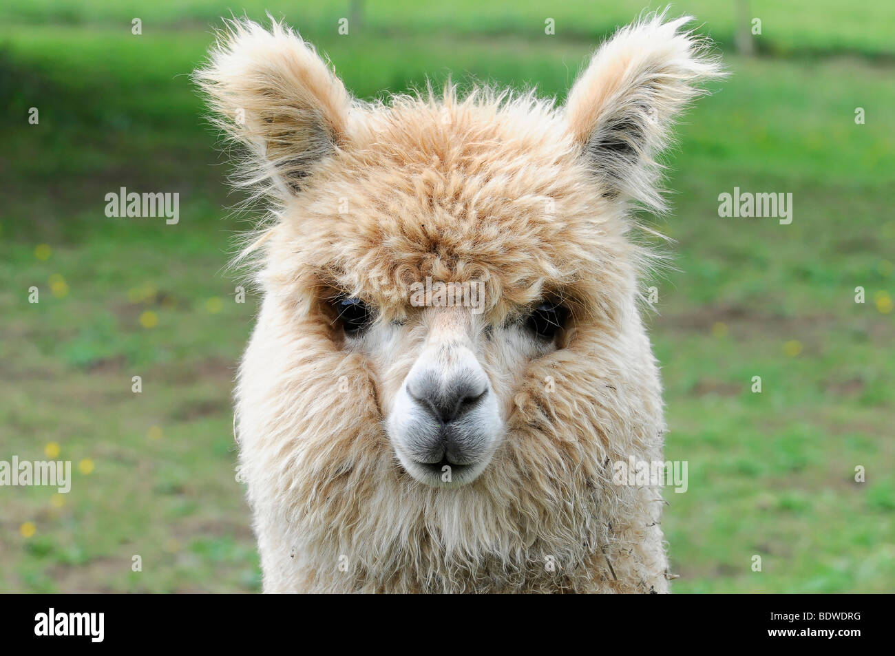 Alpaca (Lama pacos), Waldstetten, Baden-Wuerttemberg, Germany, Europe - Stock Image