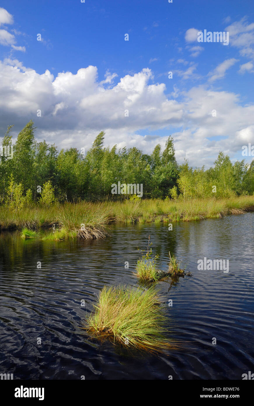 Moor landscape with pond and birch grove (Betula pubescens), foothills of the Alps, Grundbeckenmoor area, Nicklheim, Stock Photo