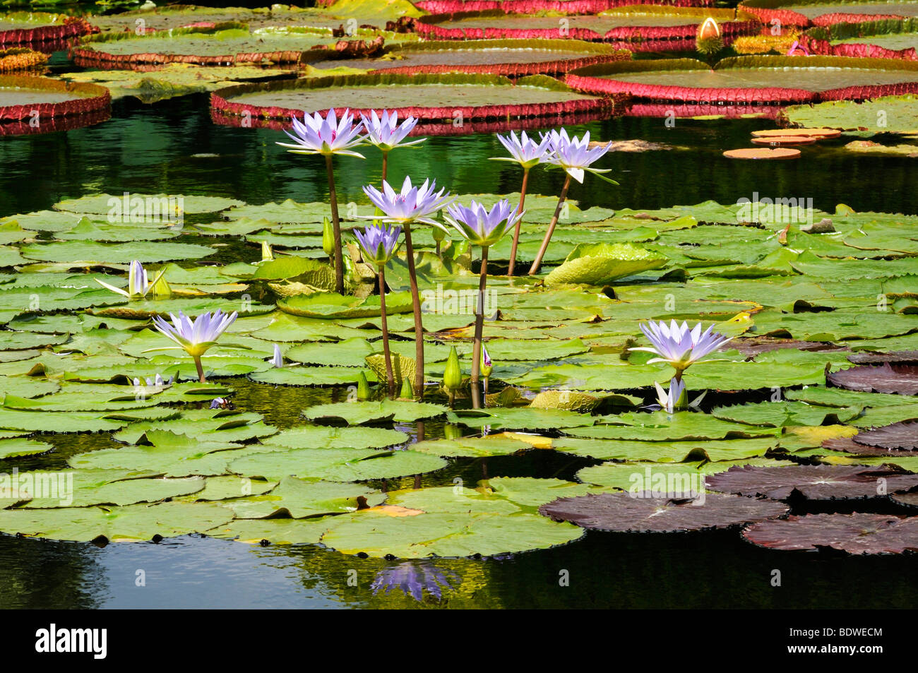 Water lily pond with blooming waterlilies (Nymphaea) Stock Photo