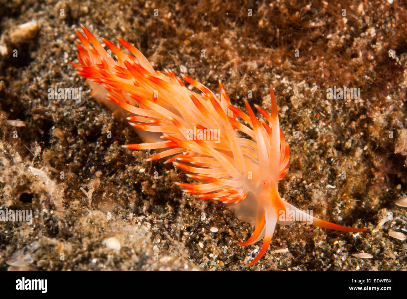 Nudibranch or seaslug (Flabellina sp), Indonesia - Stock Image