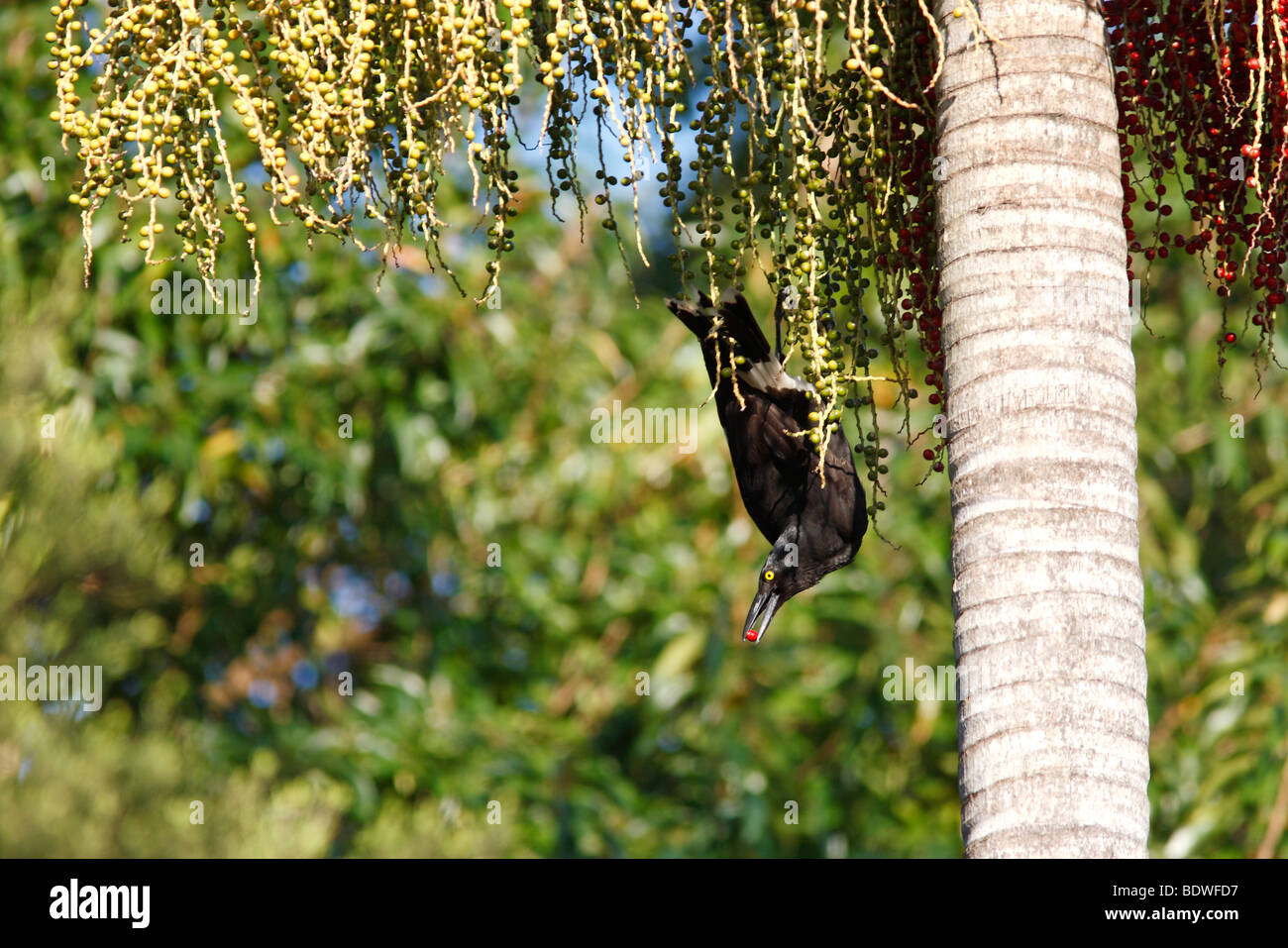 Pied Currawong, Strepera graculina, eating the fruit of the Alexandra Palm. The bird has a berry in its beak - Stock Image