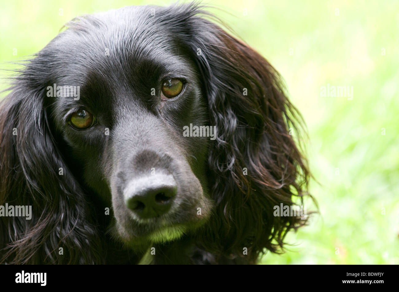Working Cocker Spaniel - Stock Image