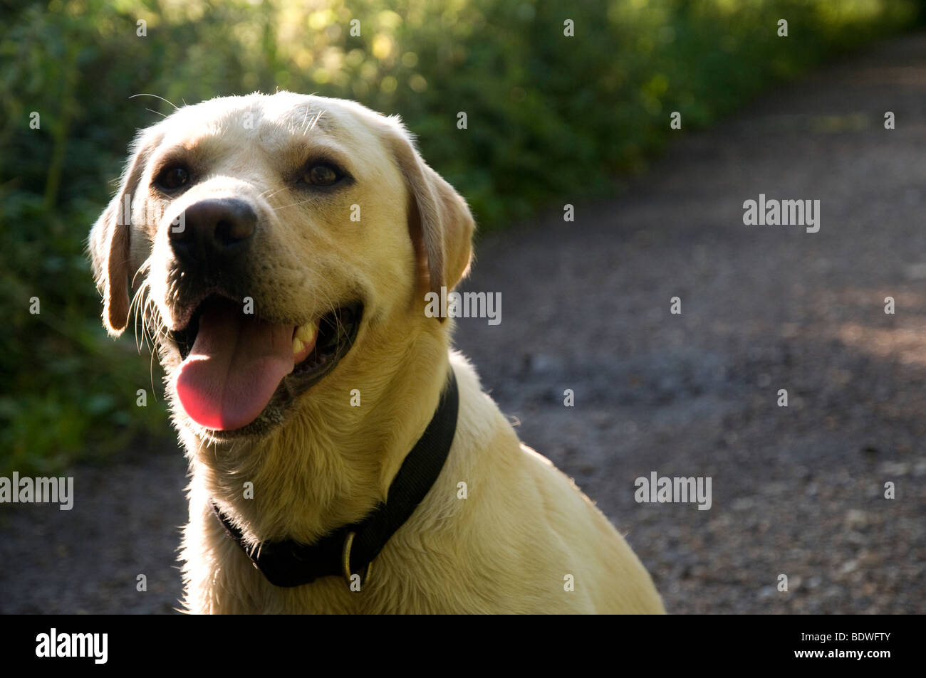Yellow labrador retriever dog - Stock Image