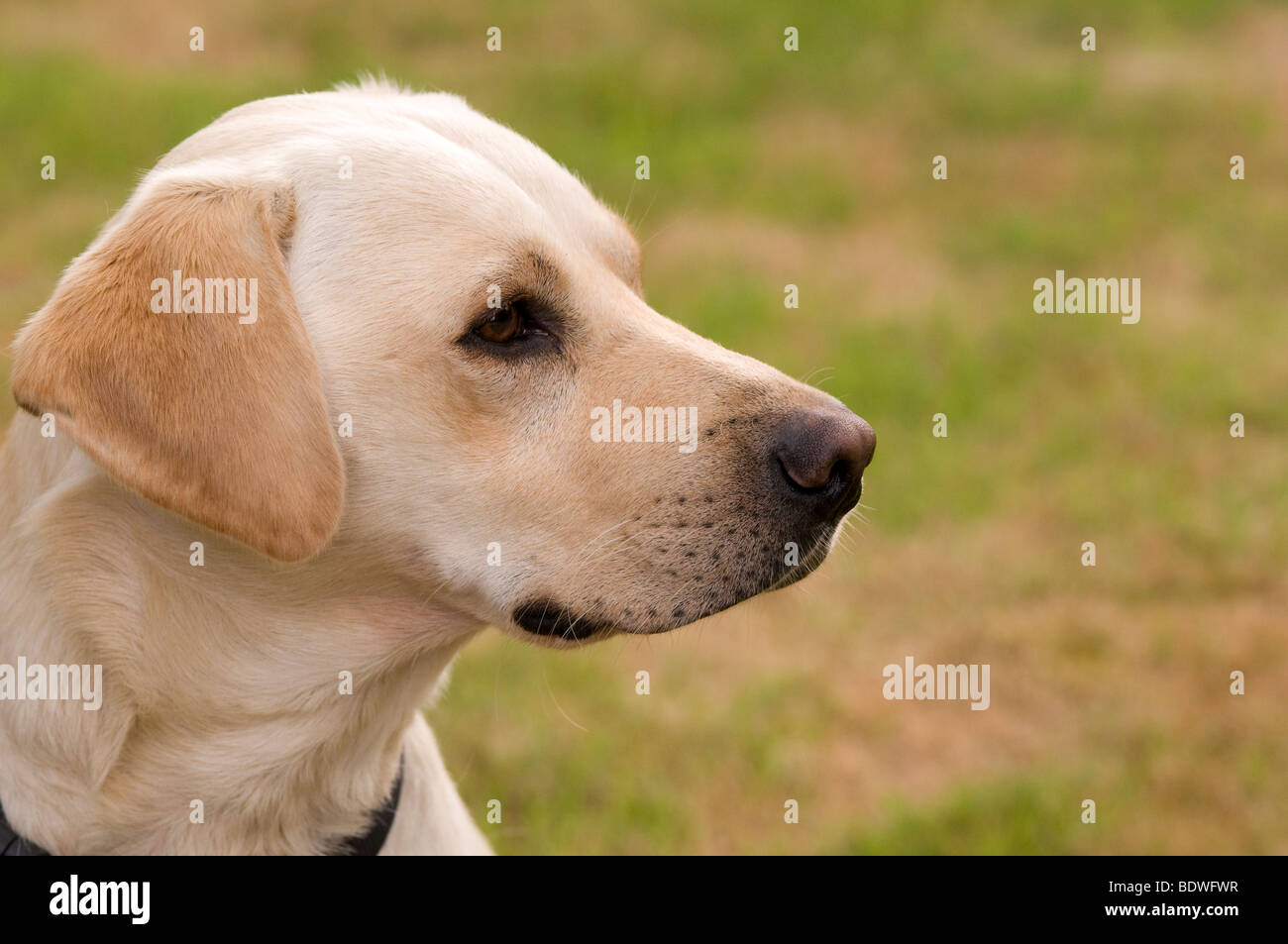 Side view and close up yellow labrador retriever dog - Stock Image