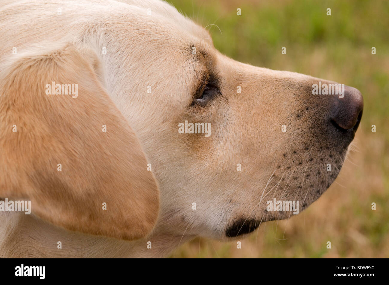 Close-up head shot of a yellow Labrador dog - Stock Image