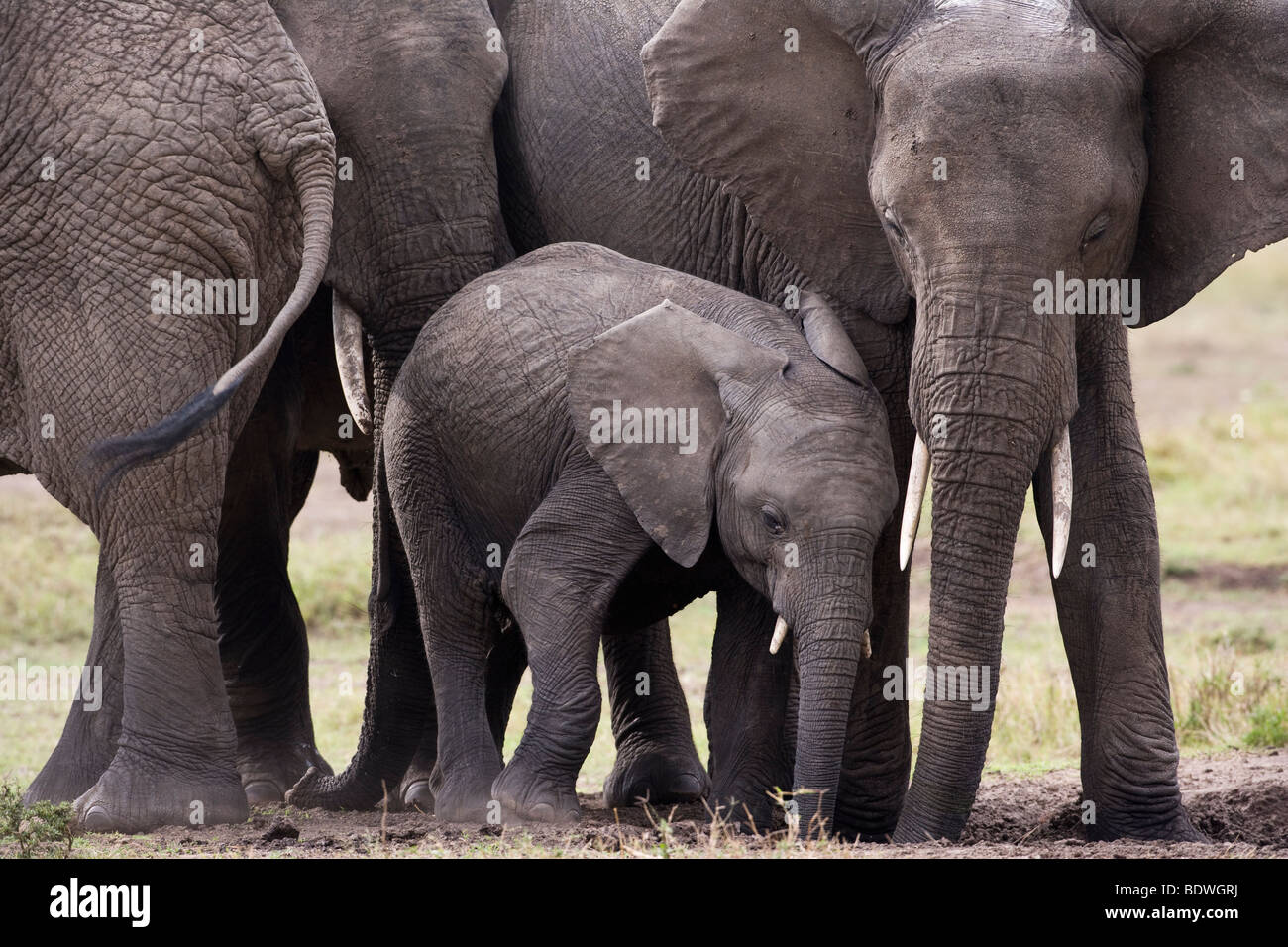 Close-up Baby and mother elephants affectionate hug rubbing together lovingly in Masai Mara of Kenya Africa, soft - Stock Image