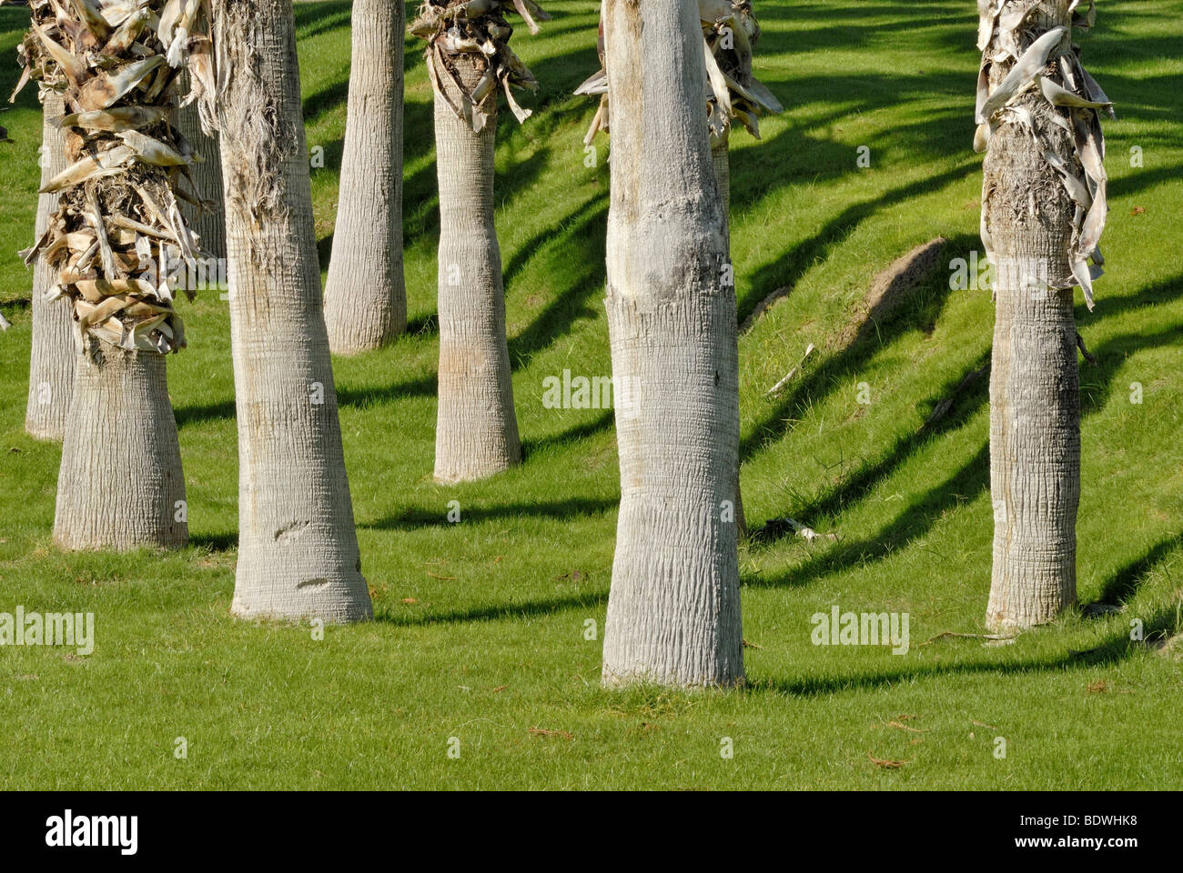 Palm trunks, throwing shadows onto watered lawn, Indian Palm Country Club, Indio, Southern California, California, - Stock Image