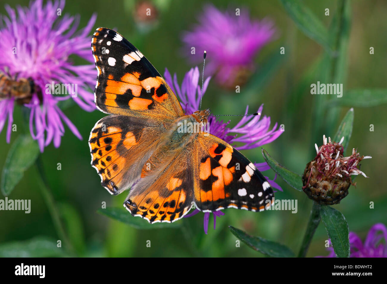 Thistle Butterfly, Painted Lady (Vanessa cardui, Cynthia cardui) sitting on a flowering Brown Knapweed, Brownray Stock Photo