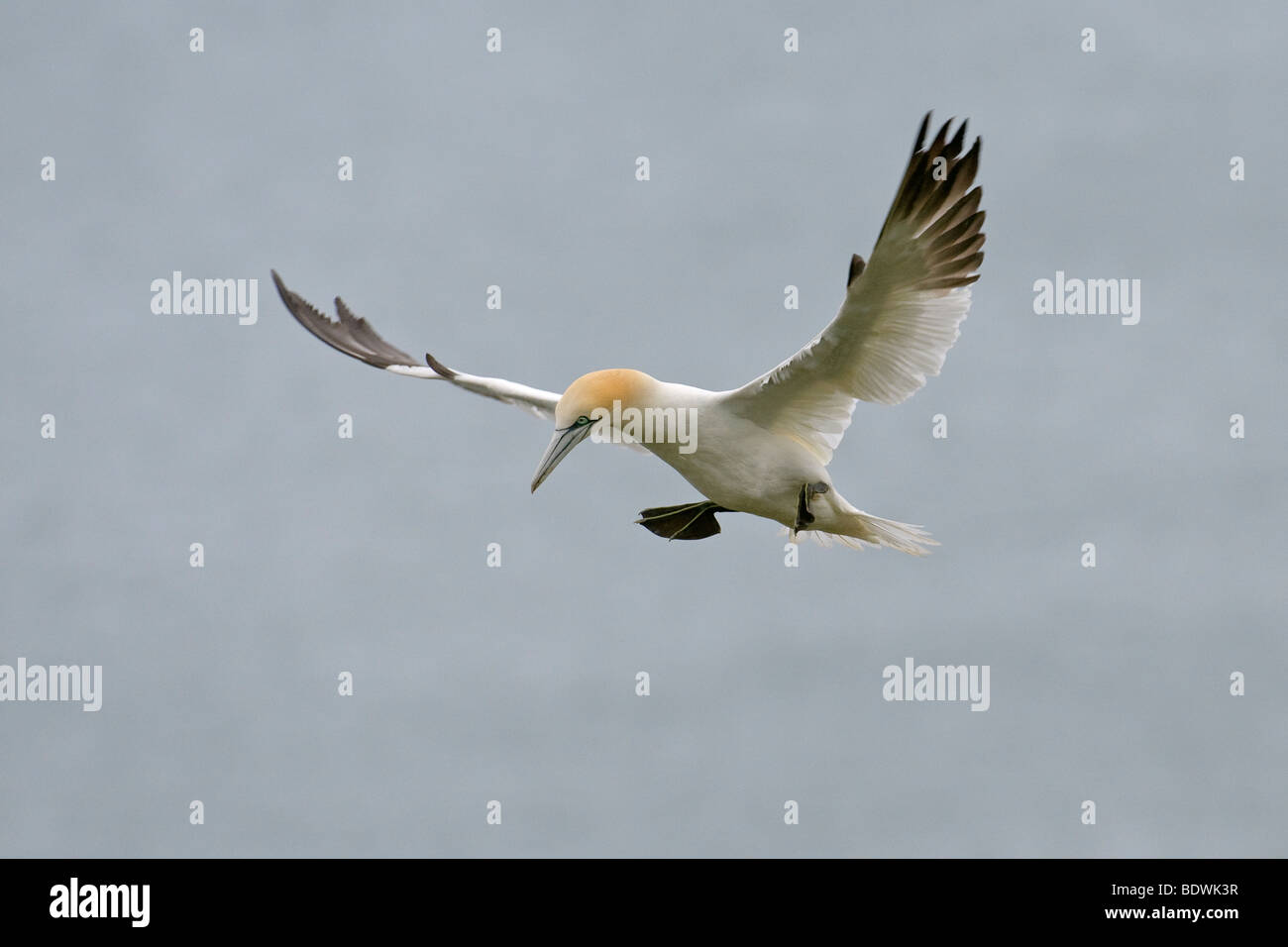 Northern gannet Morus bassanus adult in flight. - Stock Image