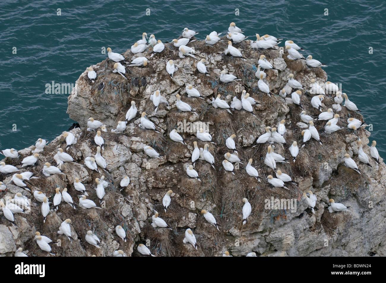 Northern gannet Morus bassanus breeding colony at Bempton Cliffs RSPB reserve, East Yorkshire, England. - Stock Image