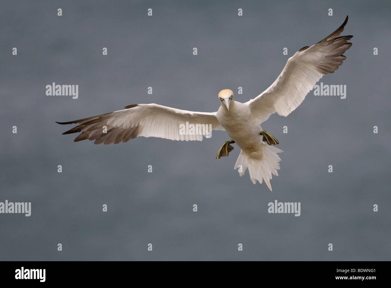 Northern gannet Morus bassanus adult in flight. - Stock Image