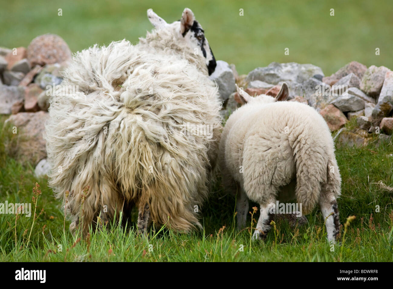 Sheep with wool tousled by the wind, Tory Iceland, Ireland, Europe - Stock Image