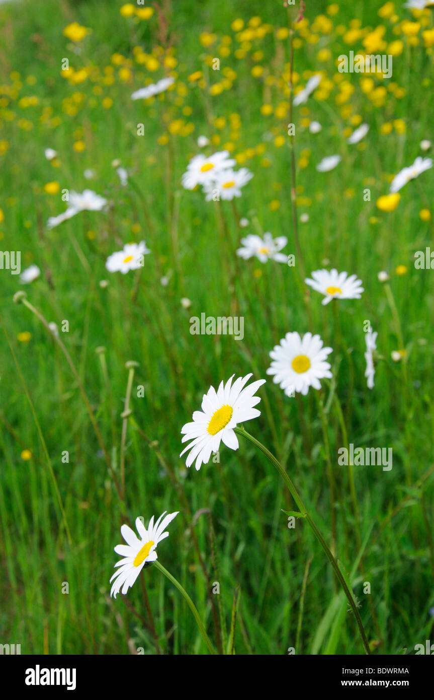 Ox-eye daisies and buttercups in a meadow Stock Photo